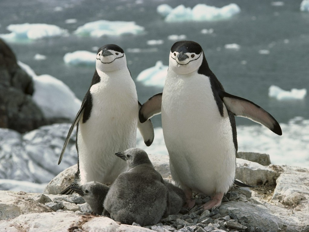 chinstrap-penguin-parents-and-chicks-antarctica